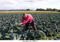 picked-grown-vegetables-on-farms-in-the-fertile-area-of-tarleton-burscough-brma0y